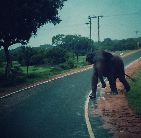 Vild elefant nära Panama och Arugam Bay.