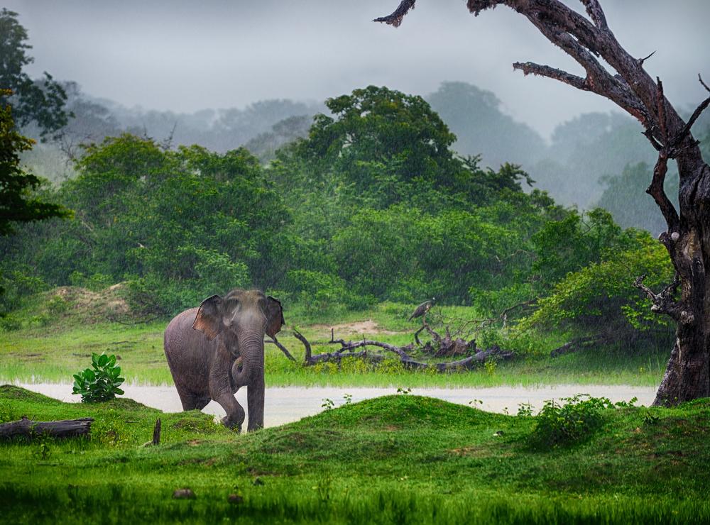 Vild elefant på Sri Lanka.  Foto: Shutterstock