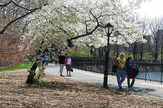 Promenad i Central Park under blommande magnoliaträd.