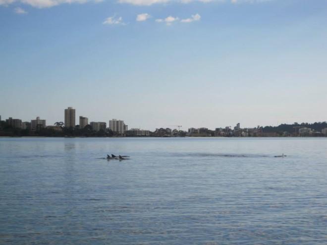Delfiner på simtur i Swan River