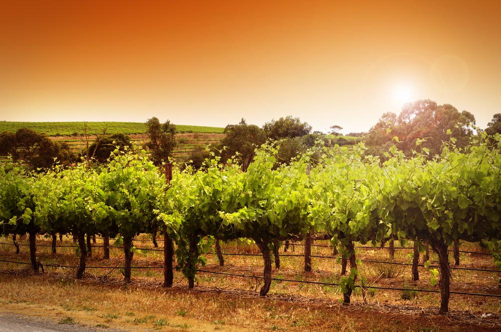 Australiensk vingård.