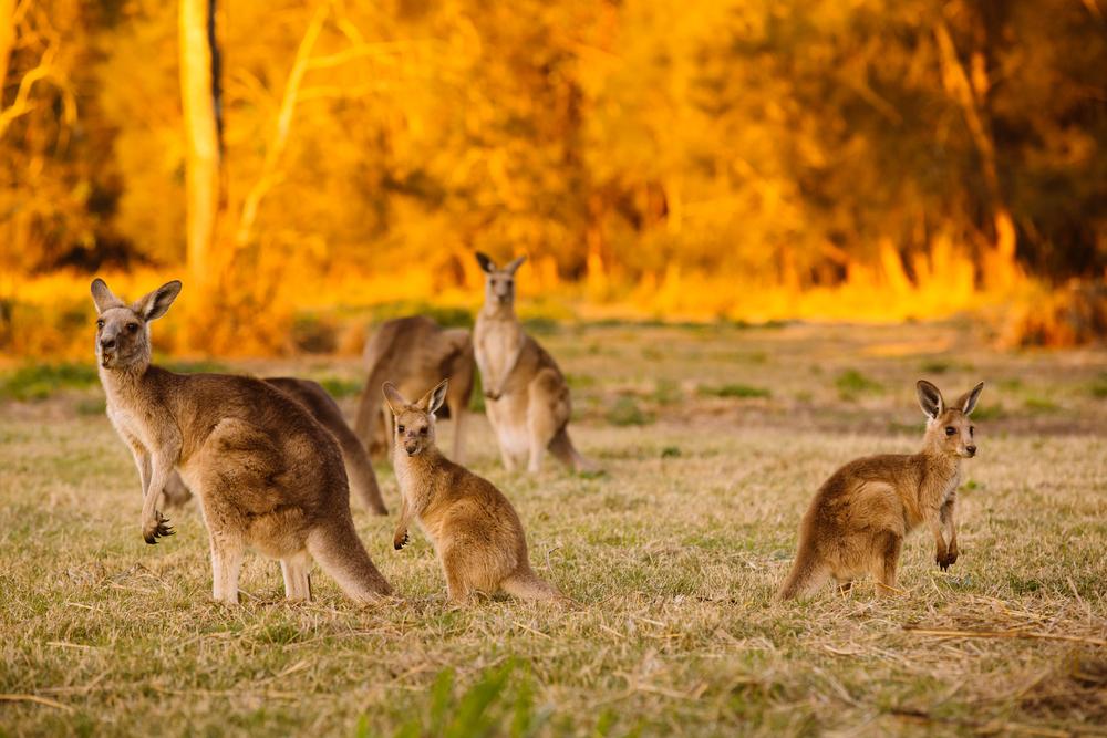 Kängurur på en slätt i solnedgång.