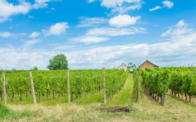 Vinodling i Villany, Ungern.