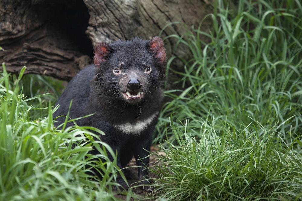Tasmansk Djävul i gräset.