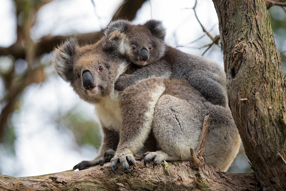 Koala med sin unge i ett träd.