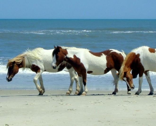 Vildhästar på Pony Beach