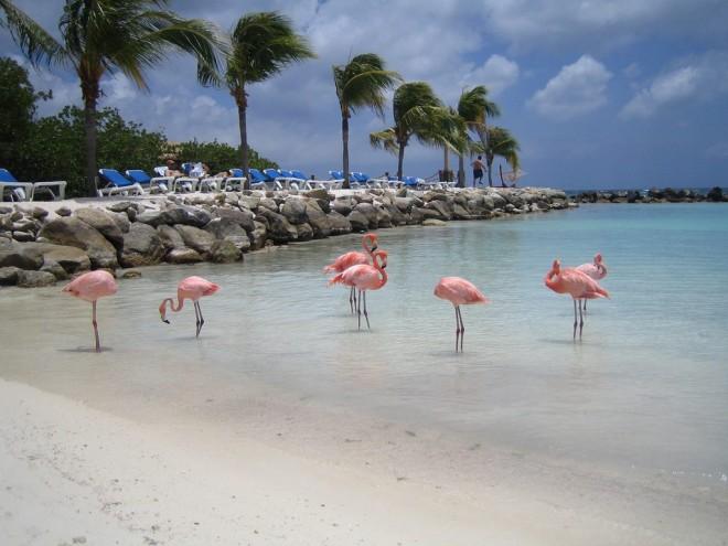 Flamingor doppar sig i vattnet i Aruba