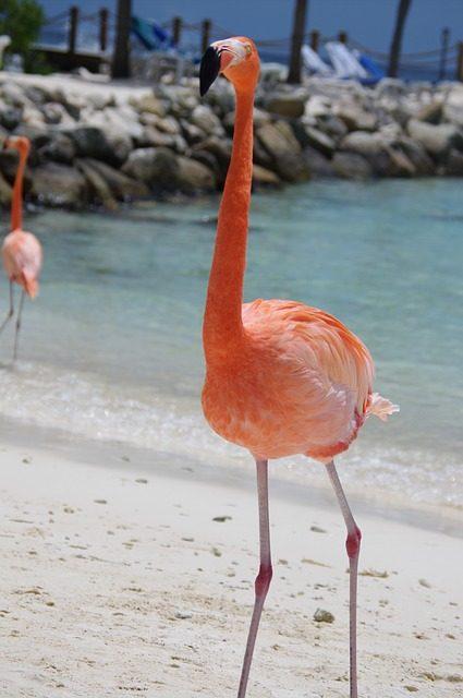 Flamingor på strand i Aruba