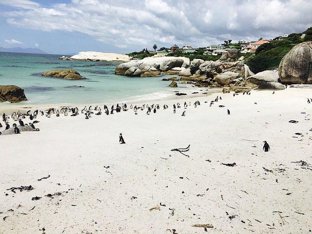 Pingviner på Boulders Beach