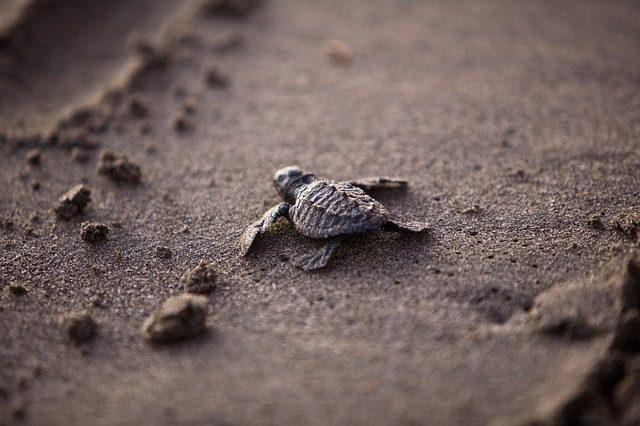 Liten sköldpadda på strand