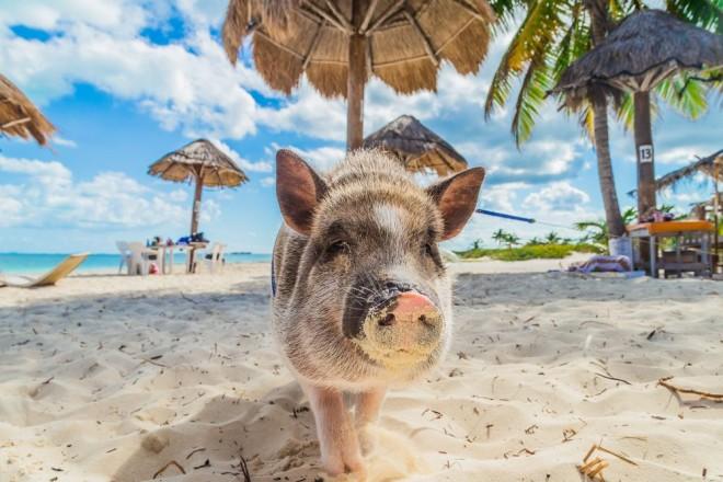 Gris på strand i Bahamas