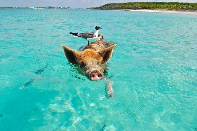 Gris simmar i klart vatten