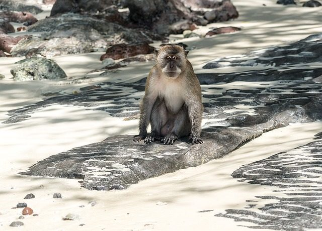 Apa på Monkey Beach, Phi Phi Island